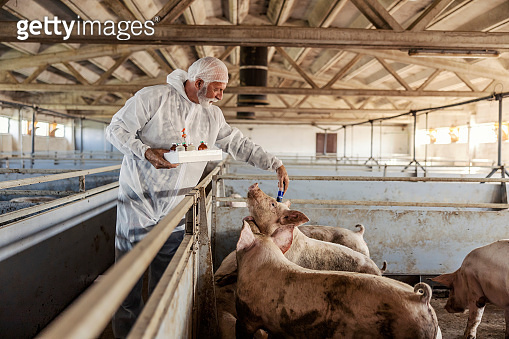 A senior veterinarian in a white working uniform is taking care of pigs in the barn. Pigs curiously coming close to him.