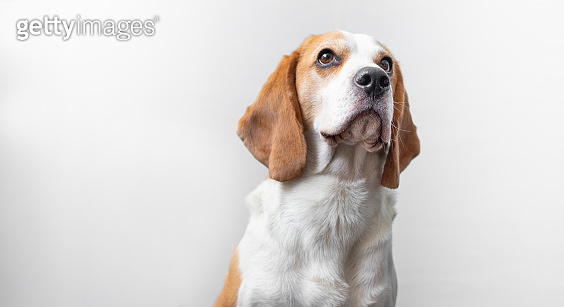Portrait of a sweet adorable beagle dog on a bright gray background. Breed of small hounds. English tricolor beagle. Happy pet dog studio shot. Cute serious adult beagle
