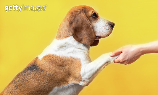 Portrait of a cute adorable beagle dog on a bright yellow background. Breed of small hounds. English tricolor beagle. Happy pet dog studio shot. Give a paw command. Human hand holding a dog's paw