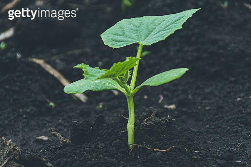 Young shoots with green cucumber leaves on the farm. Growing vegetables in the garden.