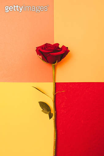 Pink roses background.  Red roses on white, pink, red and yellow background. February backdrop. Fresh roses bouquet.