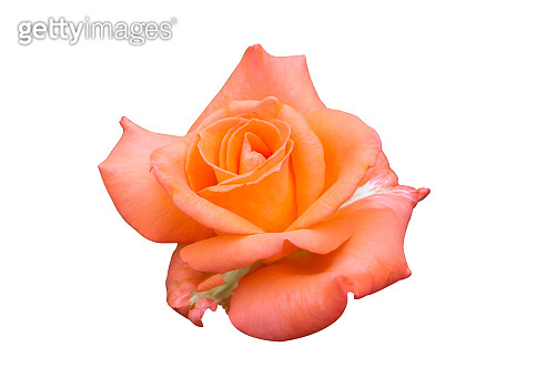 Beautiful sweet orange rose bud flower isolated on white background, love and romantic concept