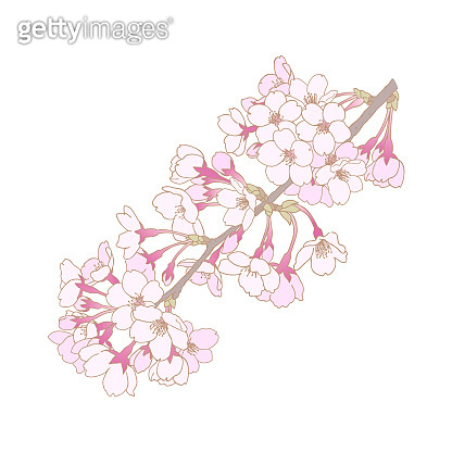Cherry blossom line drawing illustration