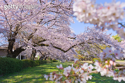 cherry blossom in the park