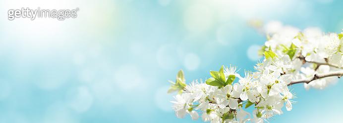 Spring cherry blossom and blue sky