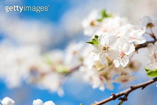 White cherry blossom sakura in spring time against blue sky. Nature background. Soft focus