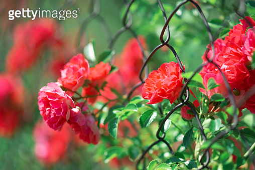 Full bloom of pink climbing roses background. Soft focus