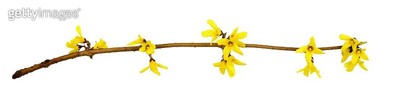 Spring twig of forsythia shrub with yellow flowers