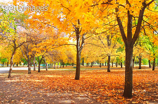 Beautiful landscape with maple alley in autumn park