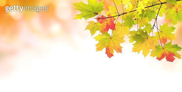 Maple leaves on sunny beautiful nature autumn background
