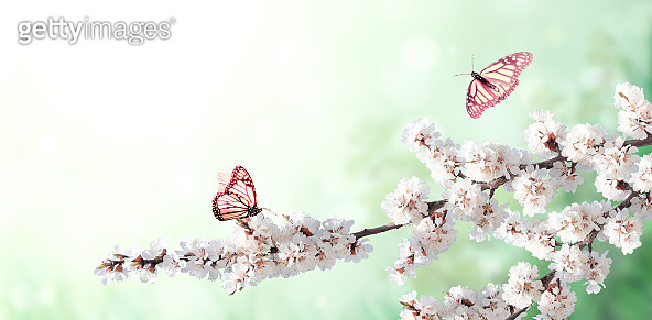Horizontal spring banner with sakura flowers  and two butterflies