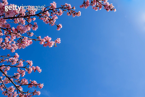 Early blooming Kawazu cherry blossoms blooming against the clear blue sky
