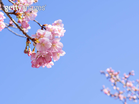 Early blooming Kawazu cherry blossoms and buds against a blue sky background