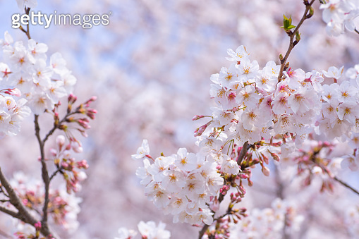 Beautifully blooming cherry blossoms on a blue sky background