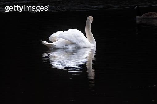 Mute swan in portrait