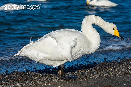Singing swans in Kussharo on Hokkaido