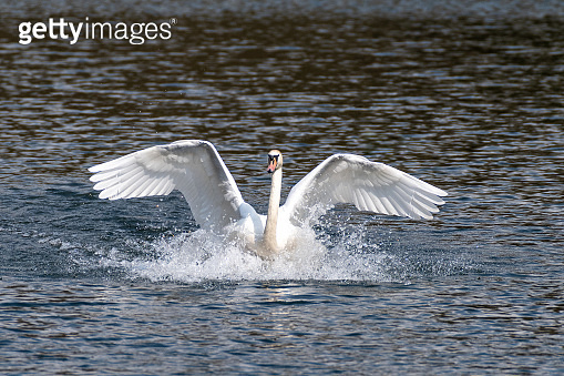 Humpback swans in spring