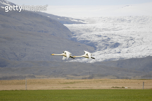 Singing swans in Iceland