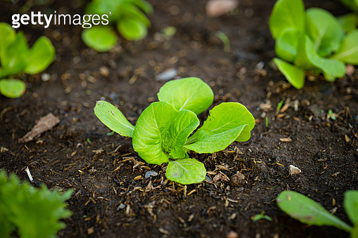 Sprout of growing vegetables plants garden at backyard for safety non insecticide organic food.