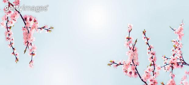 Cherry pink blossoms close up. Blooming sakura tree