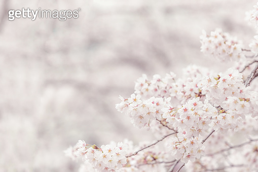 Cherry blossom  flower in spring for background or copy space for text