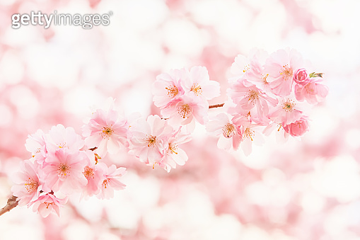 Pink Cherry blossom branch in bloom at the blurred background. Spring concept