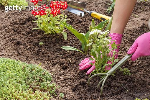 Gardener is planting vervain in a ground in a garden bed.