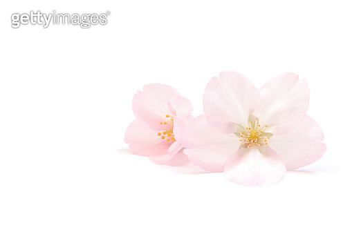 Japanese natural pink cherry blossom and petals isolated on white background, spring abstract photography