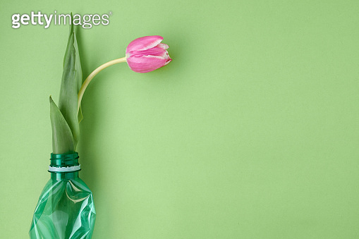 flat lay with tulip isolated on green background