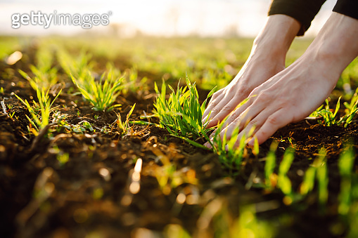 The farmer considers young wheat in the field. Young wheat seedlings in the hands of a farmer. Green wheat growing in soil.