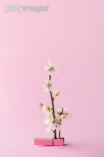 Cherry blossom standing on a clothespin