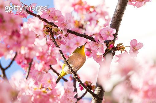 Kawazu cherry blossoms and white-eye, Edogawa-ku, Tokyo, Japan