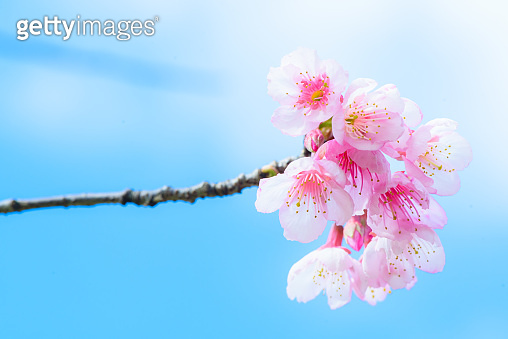 Beautiful Pink Cherry Blossom or Sakura flower blooming in blue sky on nature background