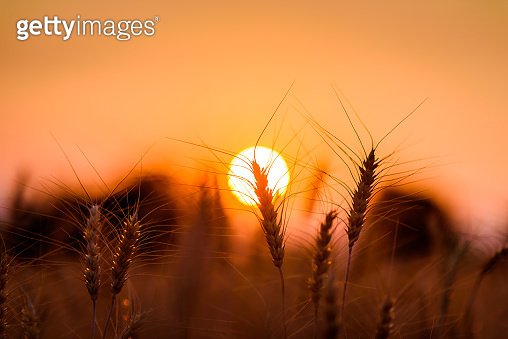 silhouette barley or wheat field in sunset