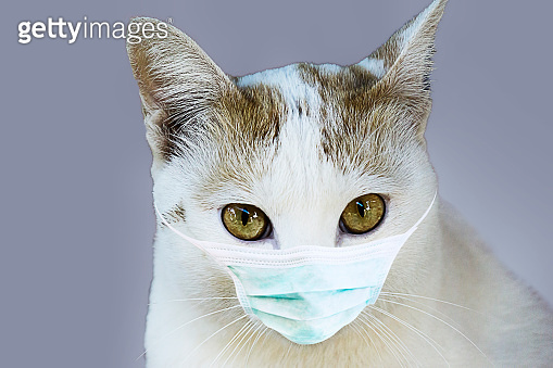 White cat in a medical mask. Protective antiviral mask on the cats face, Protective face mask for animals