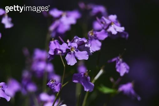 Chinese violet cress (Orychophragmus Violaceus). Brassicaceae plant.