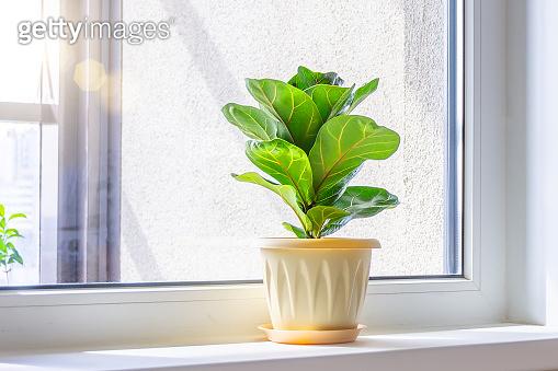 Green Ficus lyrata bambino plant on the windowsill of a sunlit room.
