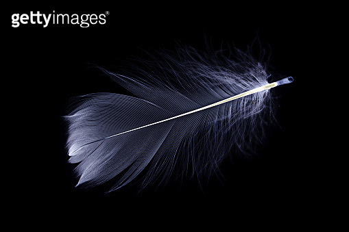 Feather banner. Multicoloured pastel angel feather closeup texture isolated on black background in macro photography. Glamorous sophisticated airy artistic image on soft blurred background.