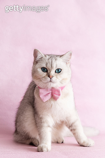 A white british cat with pink bow tie