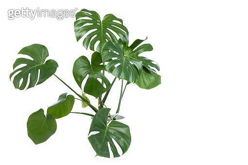 Monstera plant in pot isolated on white background