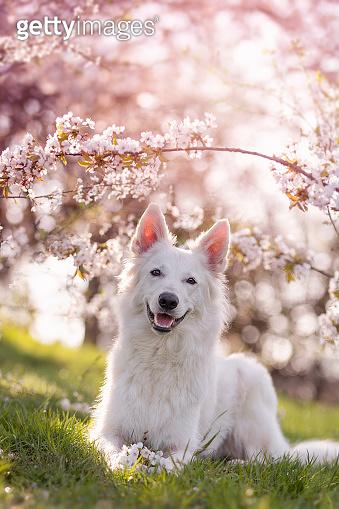 White shepherd dog lying under cherry blossoms in springtime