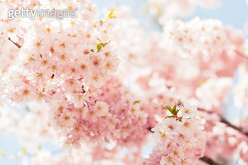 Amazing pink cherry blossoms on the Sakura tree in a blue sky.