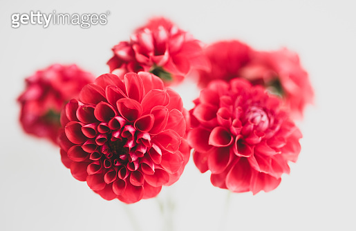 Soft focus red dahlias with matte filter effect