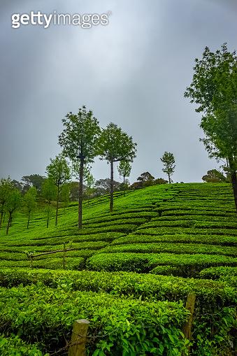 Munnar Tea plantation. Best Tea plants In Munnar, Kerala, India.
