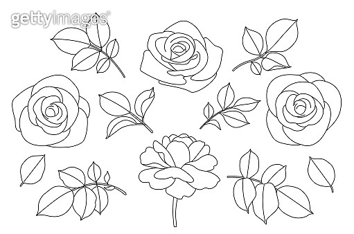 Rose flowers and leaves sketch