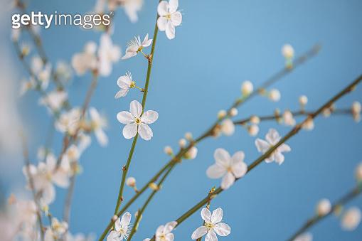 Cherry Blossoms Under Blue Sky