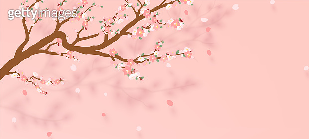 Blossoming branch of sakura - Japanese cherry tree with falling petal. Beautiful cherry blossom pink - violet, isolated on white background. Vector illustration.