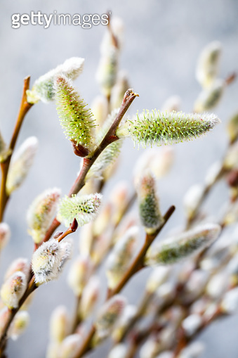 Willow blossoming. Symbol of spring and holiday.