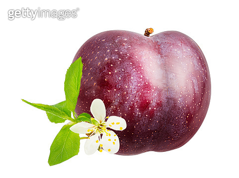 Plum wish a flower isolated on white background with clipping path