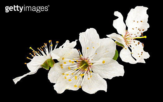 Plum flowers isolated on black background with clipping path